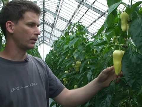 Tekintse meg az aquaponia paprika gazdálkodásról szóló videót