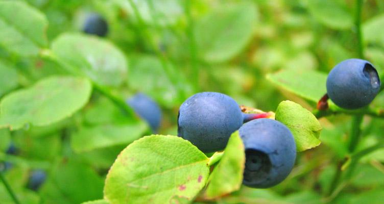 Gyümölcsszüret júliusban
