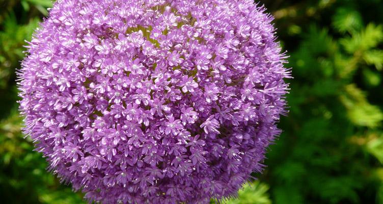 Allium gigantum – a más virágokkal kiválóan kombinálható, népszerű, óriás díszhagyma