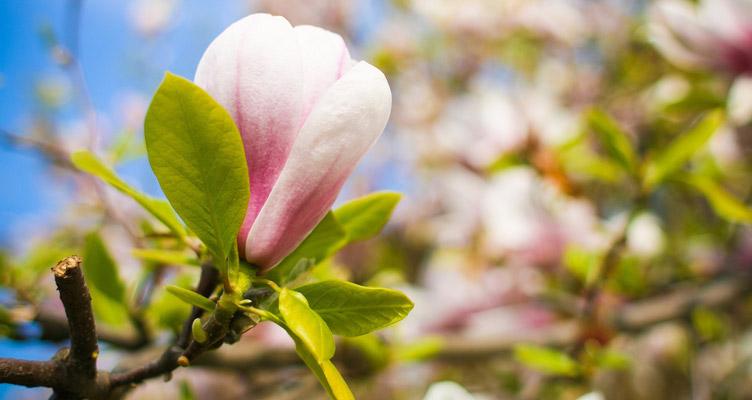 A liliomfa metszése