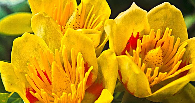 A tulipánfa metszése