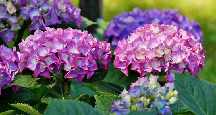 A kerti hortenzia metszése
