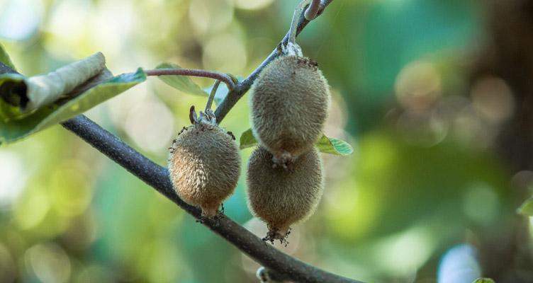 A kiwi metszése
