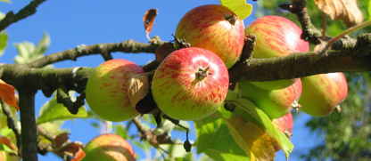 Az alma metszése