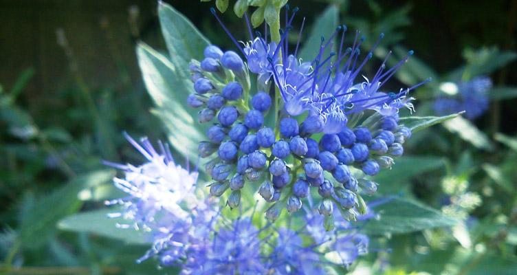 A kékszakáll metszése