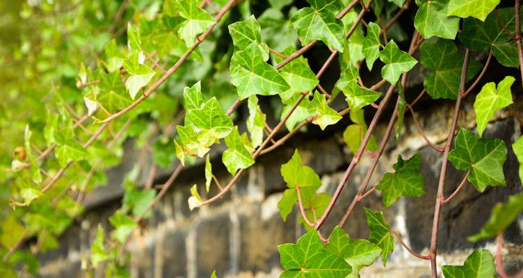 A borostyán metszése
