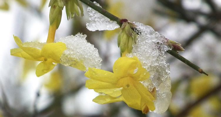 A téli jázmin metszése